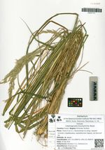 Calamagrostis brachytricha Steud.
