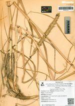 Leymus mollis (Trin.) Pilg.