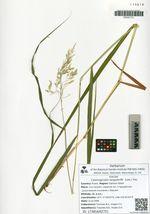 Calamagrostis langsdorffii  (Link.) Trin.