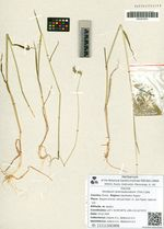 Hordeum brevisubulatum (Trin.) Link.