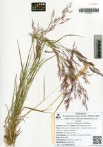Agrostis mongolicum Roshev.