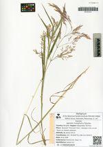 Agrostis mongholica Roschev.