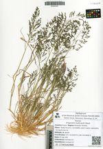Eragrostis multicaulis Steud.