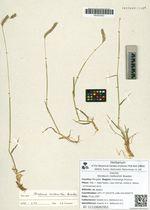 Hordeum roshevitzii Bowden