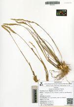 Koeleria tokiensis Domin