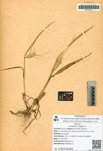 Hordeum vulgare L.