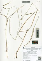 Elymus ciliaris (Trin.) Tzvelev