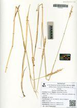 Elymus angustatus Trin.