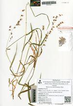 Melica turczaninowiana Ohwi