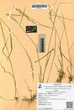 Roegneria ciliaris (Trin.) Nevski