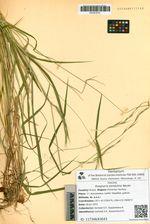 Roegneria pendulina Nevski