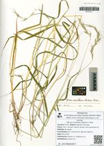Elymus confusus (Roshev.) Tzvel.