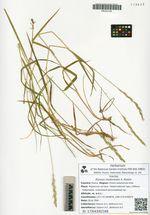 Lopholejeunea nigricans (Lindenb.) Steph. ex Schiffn.