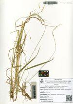 Elymus pubiflorus (Roshev.) Peschkova