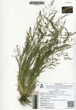 Eragrostis pilosa (L.) Beauv.
