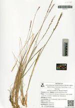 Elymus scandicus (Nevski) Khokhr.