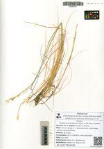 Elymus schrenkianus (Fisch. & C.A. Mey.) Tzvelev