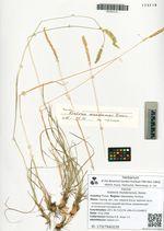 Koeleria mukdenensis Domin