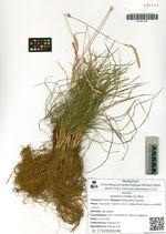 Koeleria cristata (L.) Pers.
