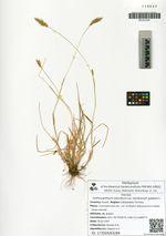 Anthoxanthum odoratum L. var. tandrorum galanin