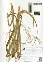 Achnatherum extremiorientale (H. Hara) Keng