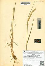 Elymus dahuricus Turcz. ex Griseb.