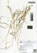 Muhlenbergia japonica Steud.