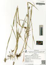 Phleum alpinum L.