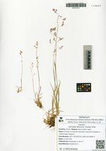 Vahlodea flexuosa (Honda) Ohwi