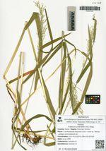 Trisetum umbratile (Kit.) Kitag.