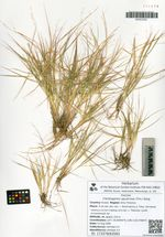 Cleistogenes sguarrosa (Trin.) Keng