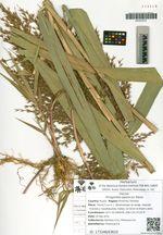 Phragmites japonicus Steud.