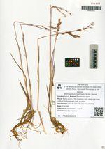 Bromopsis pumpelliana (Scribn.) Holub