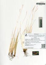 Festuca lenensis Drob.