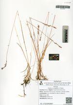 Festuca cryophila V. Krecz.