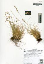 Festuca brachyphylla Schult. & Schult.