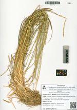 Elymus macrourus (Turcz.) Tzvelev