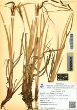 Carex concolor   R. Br.