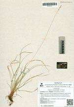 Carex conspissata  V. Krecz.