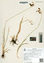 Carex coriophora Fisch. & C.A. Mey. ex Kunth