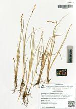 Carex cinerea Poll.