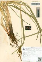Carex dispalata Boott