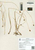 Carex curaica Kunth