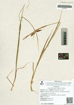 Carex dichroa (Freyn) V. Krecz.