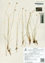 Carex stenophylloides V. Krecz.