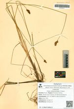 Carex diplasiocarpa V. Krecz.
