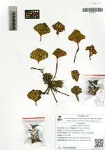 Trapa sibirica Flerow