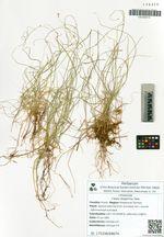 Carex disperma Dew.