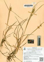 Carex dolichocarpa C.A. Mey. ex V. Krecz.