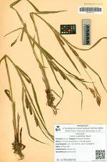 Carex scabrifolia Steud.
